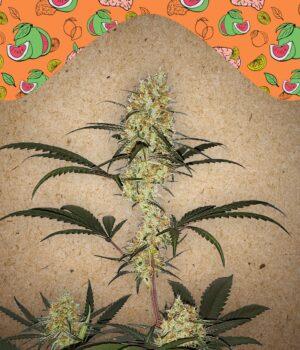 female-seeds-grape-amnesia