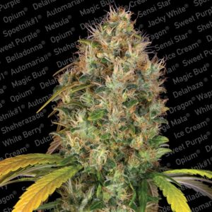Paradise seeds Dutch Kush