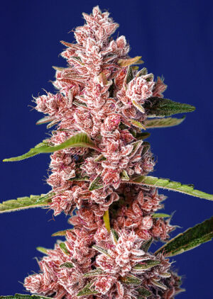 sweet seeds Tropicanna Poison F1 Fast Version