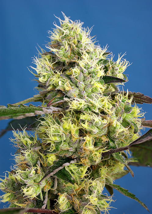 """5th generation autoflowering strain.Autofloweringversion of one of the most powerful and famousAmericanlines, coming from the San Francisco Bay (California): Gelato (Sunset Sherbet x Girl Scout Cookies """"Thin Mint"""") is one of the most appreciated exponents of the Cookies family, featuring excellent aroma and high production of THC. In order to introduce the autoflowering genes inSweet Gelato Auto®(SWS76)we used ourKiller Kush Auto (SWS56)which was itself developed with OG Kush genetics. The result is an autoflowering genetic featuring sweet and fruity aroma with a strong Kush presence, including earthy and woody tones leaning to dried fruit (hazelnuts) and soft touches of mint and citrus. This plant develops dense buds with high production of big-sized trichomes."""